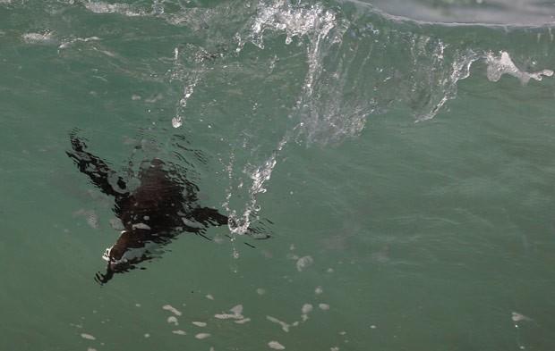 Pinguim 'surfa' onda em praia na cidade de Simon (Foto: Schalk van Zuydam/AFP)