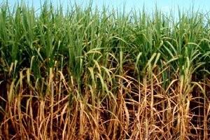 Safra da cana-de-açúcar sofreu queda de 7% em Piracicaba (Foto: Arquivo EPTV)