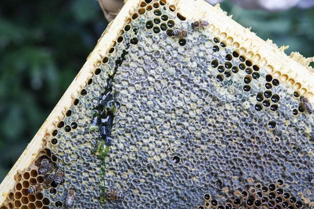 Imagem mostra favo de mel com cor verde fora do comum. (Foto: Reuters/Emmanuel Foudrot)