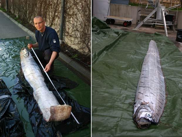 Peixe remo de 3,65 m foi encontrado na Suécia em 2010 (Foto: AP)