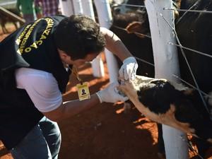 Homem vacina rebanho contra febre aftosa em Brasília (Foto: Andre Borges/Agência Brasília)