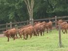 Senepol completa 15 anos no Brasil: 'Melhor gado brasileiro', diz produtor