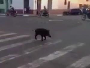 Javali foi flagrado atravessando a rua na faixa de segurança em Quaraí (Foto: Reprodução)