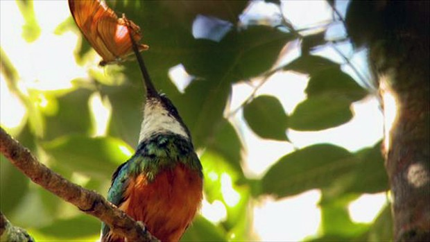 Essa espécie vive em orlas de vegetação densa, margens de rios e brejos, interior da mata rala e seca, em regiões campestres (Foto: Arquivo TG)
