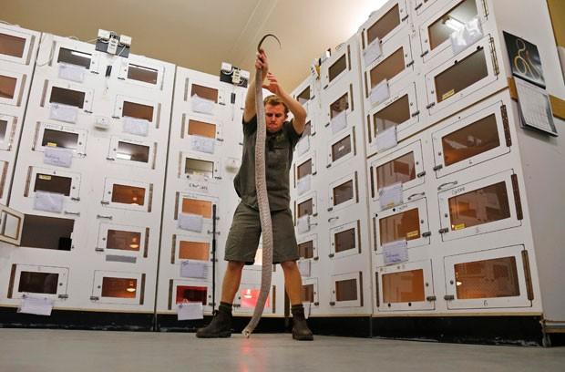 Gigantor é 50 centímetros mais longa do que uma cobra-marrom média  (Foto: Jason Reed/Reuters)