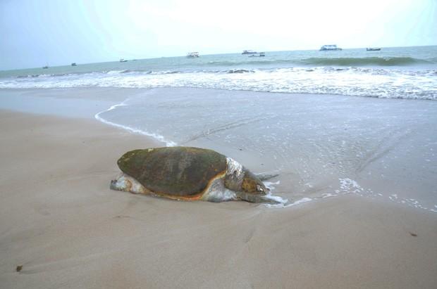 Ao todo, 14 tartarugas foram encontradas em duas semanas entre as praias do Bessa e Intermares, em João Pessoa (Foto: Walter Paparazzo/G1-PB)