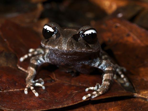 Sapo recebeu o nome de 'yin-yang' pelo desenho dos olhos (Foto: Jodi J.L. Rowley/WWF/AFP)