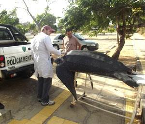 Corpo da tartaruga foi levado para estudo na UFRN (Foto: Fred Carvalho/G1)