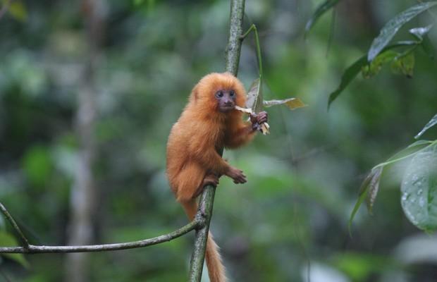 O mico-leão-dourado, exemplo de espécie que foi salva da extinção (Foto: Stuart Pimm, Duke University/AP)