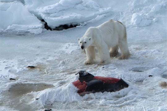 Um urso polar é fotografado comendo um golfinho na Noruega (Foto:  Polar Institute Norway)