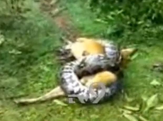 Cão conseguiu escapar de ataque mortal de píton enorme (Foto: Reprodução/YouTube/Tv9 Kannada )