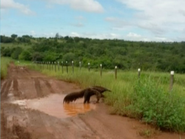 Tamanduá água (Foto: Reprodução/ TV Morena)