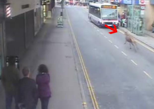 Animal saiu em disparada pela via e atingiu mulher, que teve ferimentos no rosto (Foto: Reprodução)
