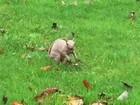 Ambientalistas capturam raro esquilo pelado para evitar que ele morra no inverno