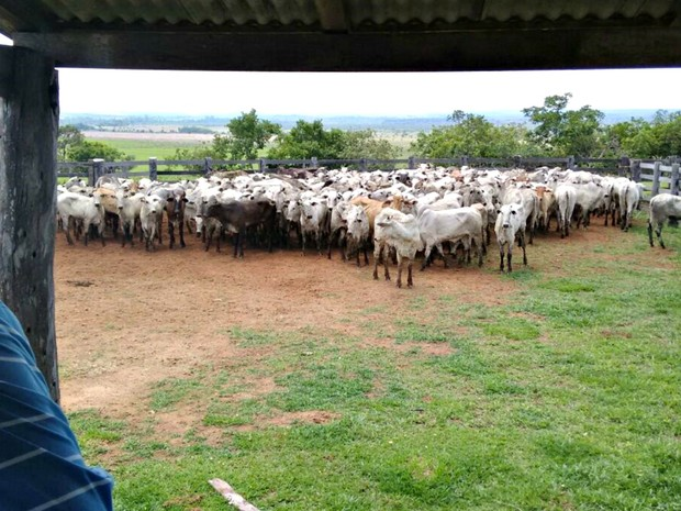 Segundo a polícia, 350 cabeças de gado foram recuperadas (Foto: Divulgação/Polícia Civil de MT)
