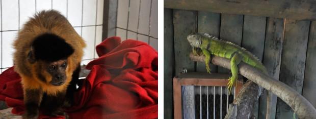 Macaco prego e iguana se aquecem no inverno (Foto: Halder Ramos/Divulgação/Gramadozoo)