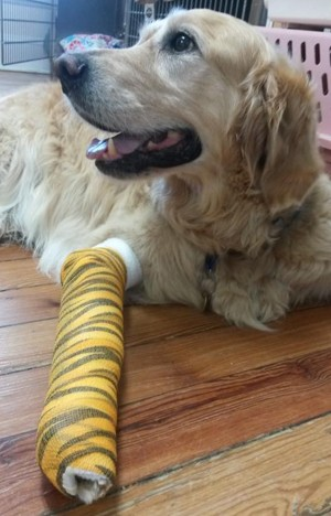 Figo, o cão 'herói' de Brewster, NY (Foto: Reprodução/Facebook/Middlebranch Veterinary )