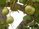 Famílias do sul do Ceará garantem renda com a cultura do pequi
