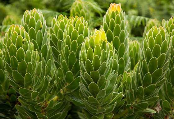 Arbusto de proteas (Foto: © Haroldo Castro/Época)