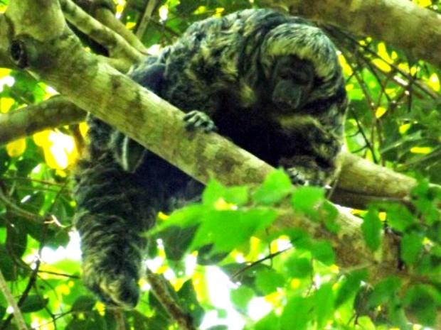 Macaco fotografado em Mato Grosso (Foto: Almério C. Gusmão/Unemat)