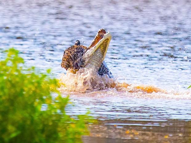 Onça-pintada ataca jacaré dentro d'água e é clicado por fotógrafo (Foto: Ernane Junior / VC no TG)