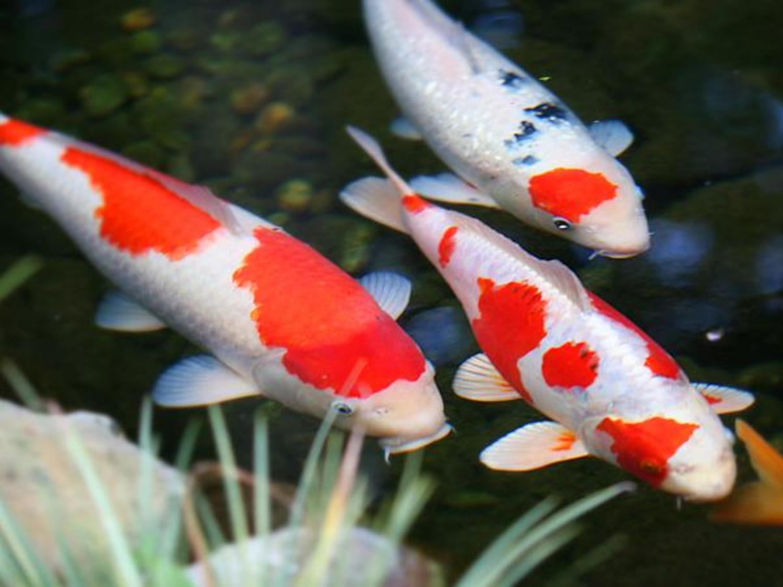 Carpas já representam 90% da população de peixes do país oceânico (Foto: Reprodução)