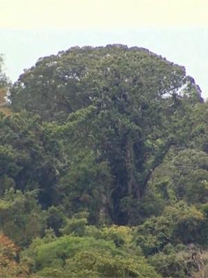 Jequitibá de mais de 30 metros aparece acima de árvores em floresta de Cássia, MG (Foto: Reprodução EPTV)
