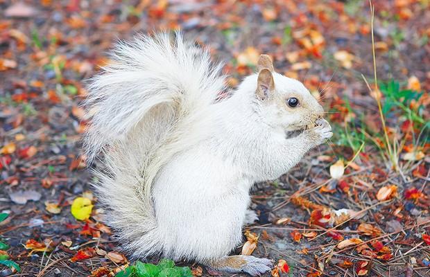 Esquilo albino: apesar de bonita, a cor branca não é boa para este animal. Ele fica mais vulnerável, pois não consegue se camuflar. Já no inverno, com a neve, ele ganha vantagem. A variação é bastante rara, uma em cada 100 mil (Foto: Shutterstock)