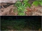 PM descobre plantação com 150 pés de maconha em Amajari, Norte de RR