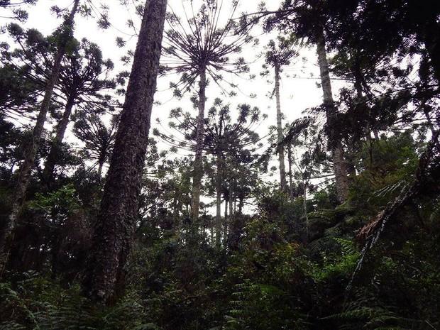 Parque das Araucárias fica em Guarapuava (Foto: Divulgação/Parque das Araucárias)