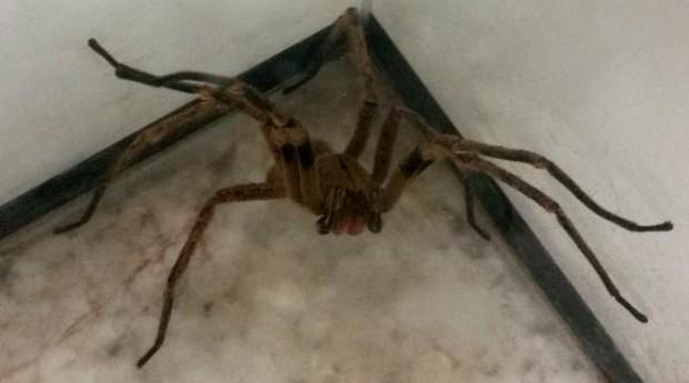 Aranha armadeira: veneno pode ser remédio (Foto: Agência Brasil)