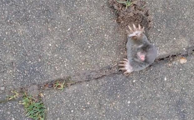 Toupeira ficou entalada ao tentar cavar buraco em pavimento (Foto: Reprodução/YouTube/Judith Van Oudheusden)