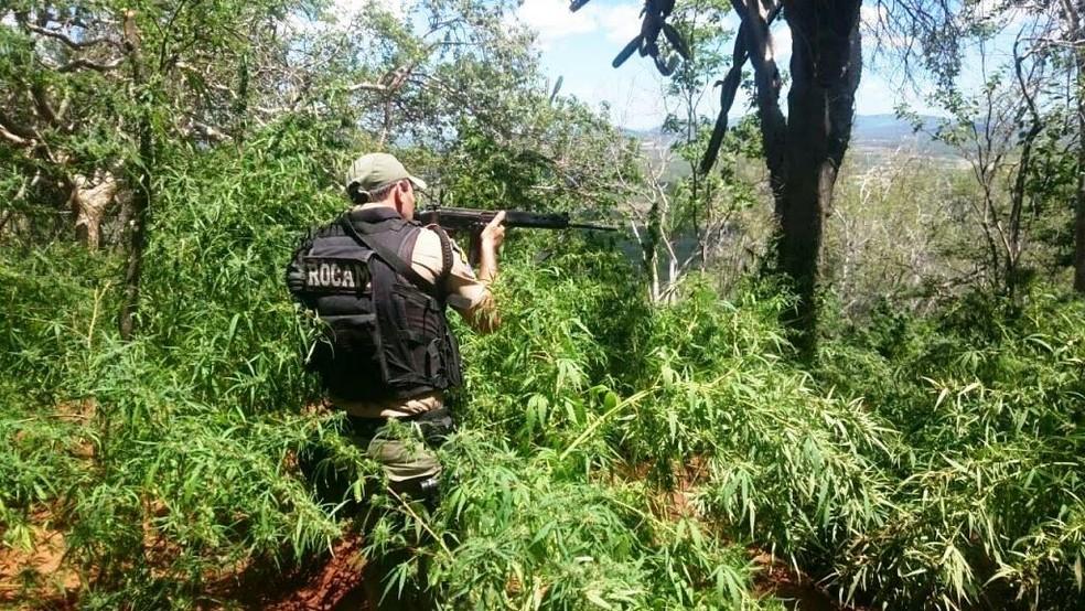 Plantação de maconha em Salgueiro (Foto: Divulgação/Polícia Militar)