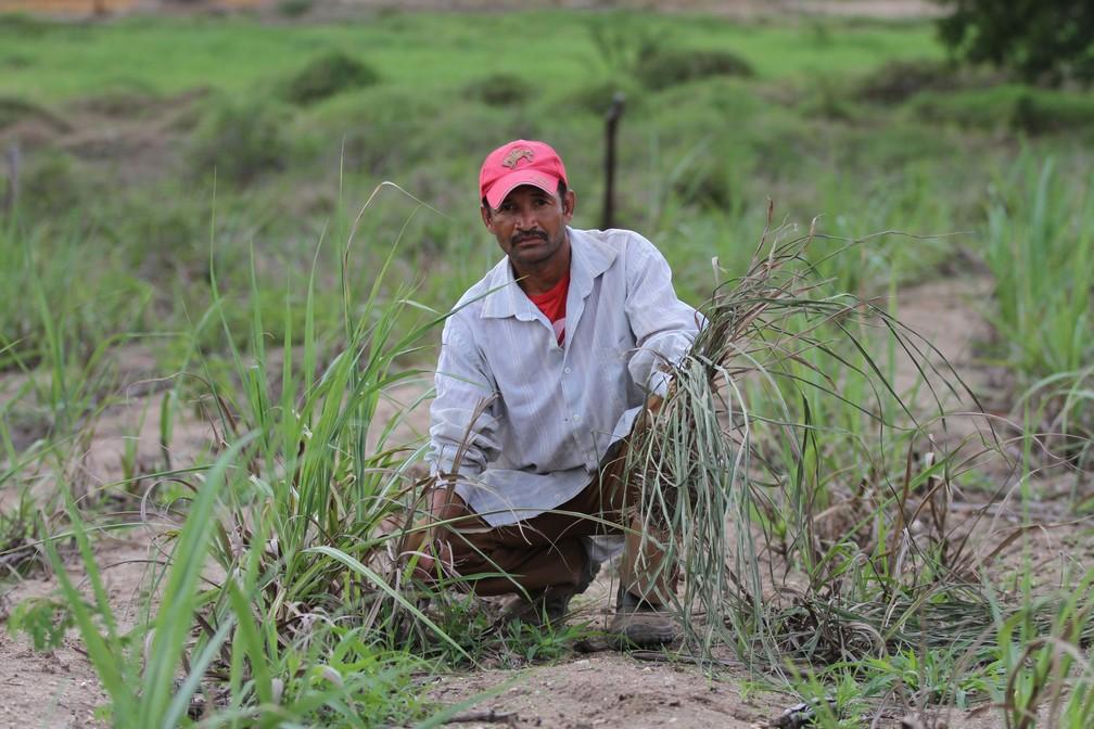 Seca castiga os canaviais da região da Zona da Mata de Pernambuco (Foto: Marlon Costa/Pernambuco Press)