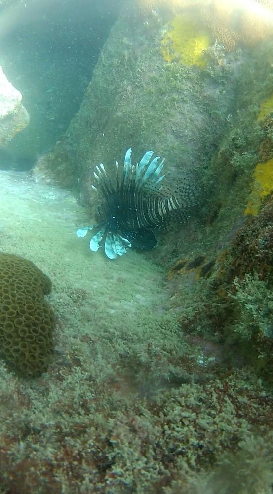 Peixe-leão foi encontrado no mar de Arraial do Cabo (Foto: Associação de Mergulho / Divulgação)