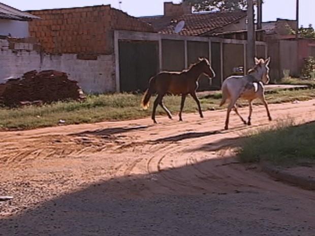 Animais soltos são frequentes nas ruas da cidade (Foto: Reprodução/TV TEM)
