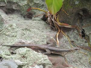 Calango, um dos animais encontrados no parque. (Foto: Anay Cury/G1)