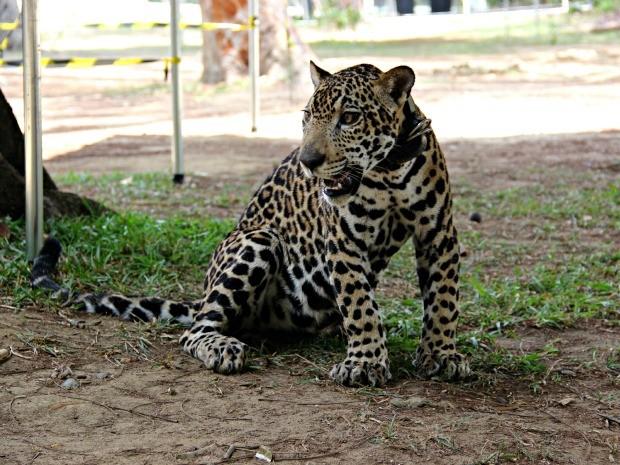 Jiquitaia tem hoje 1/3 do tamanho que terá na vida adulta (Foto: Suelen Gonçalves/G1 AM)
