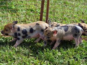 Porcos também são criados para não passarem de meio metro (Foto: Samantha Silva / G1)