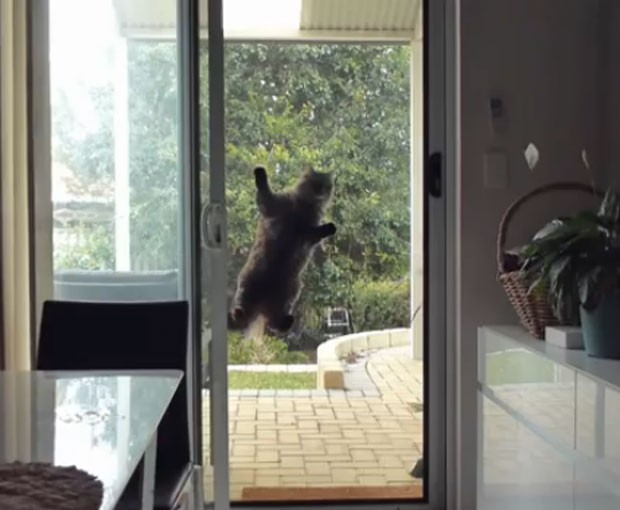 Vídeo mostra o felino dando dois saltos e se pendurando na tela (Foto: Reprodução/YouTube/Fiasco)