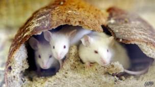 Tratamento para diabetes retardou efeitos da velhice em ratos (Foto: BBC)