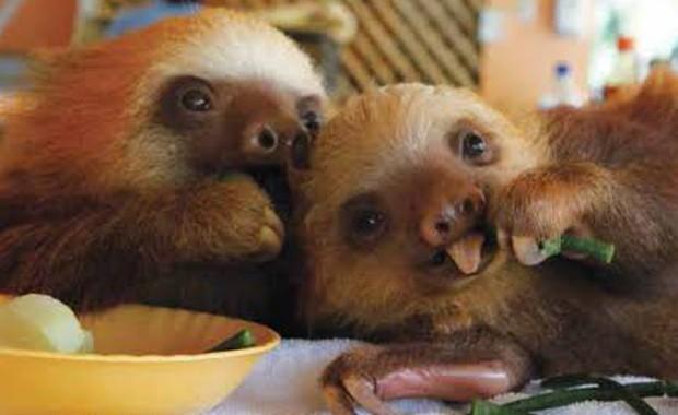 Hábitos lentos de preguiças têm a ver com sua digestão, segundo zoóloga (Fot Lucy Cook/Editora Nossa Cultura/Divulgação)