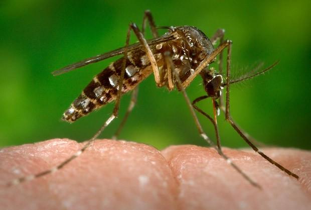 Aedes Aegypti mosquito da dengue (Foto: CDC-GATHANY/PHANIE/AFP)