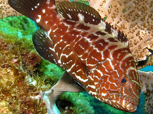 Um dos peixes que estão ficando cada vez mais raros é o badejo-quadrado ('Mycteroperca bonaci') (Foto: Heraldo Carvalho)
