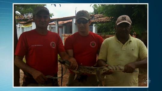 Bombeiros resgatam jacaré em quintal de casa em Uruoca