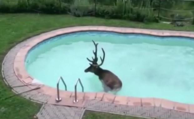 Veado precisou ser resgatado pelos bombeiros após cair em piscina na Itália (Foto: Reprodução/YouTube/TVL)