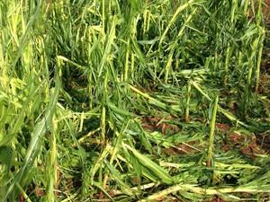 Chuva de granizo destruiu plantação em Carambeí (Foto: Vanessa Rumor/RPC)