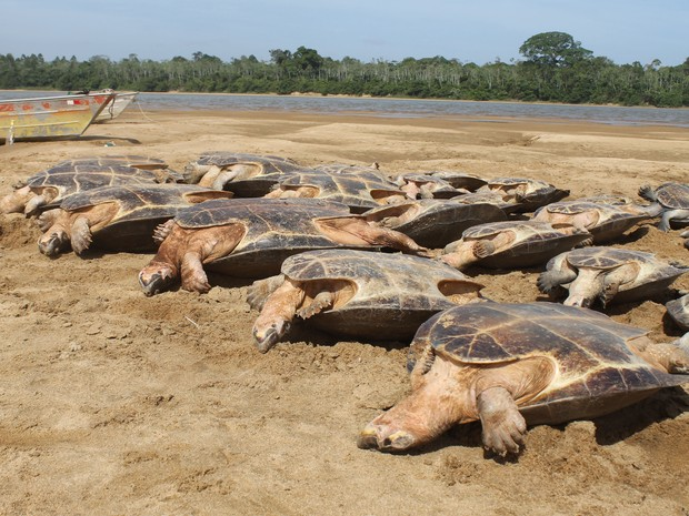 Na véspera de Natal, 130 tartrugas, que seriam vendidas em Boa Vista e Manaus, foram apreendidas pela equpe do Parque Viruá, em Roraima (Foto: Divulgação/ ICMBio)