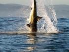 Fotógrafo brasileiro flagra ataque de tubarão branco a foca na África do Sul