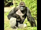Gorila é morto após menino cair em área isolada de zoológico nos EUA